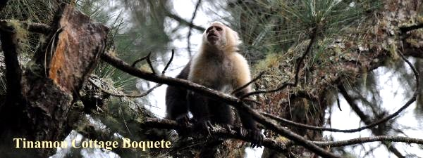 Capuchin monkey the leader of the group, Tinamou Cottage Boquete.