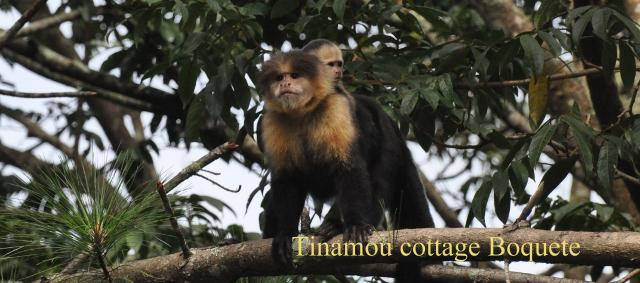 Capuchin monkeys in front of the great Tinamou Cottage, Boquete, Panama