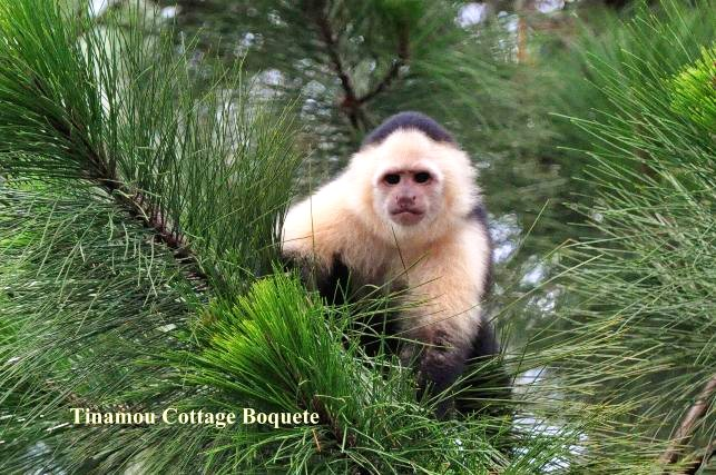 Young Capuchin looking at us in Great Tinamou cottage