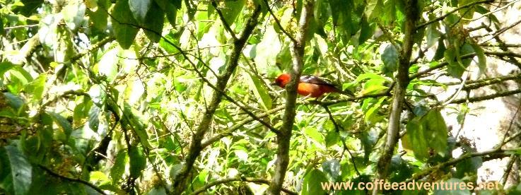 Flame colored Tanager Boquete Panama