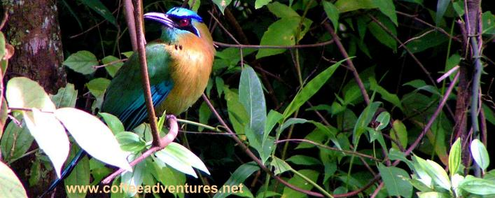 Motmot at Tinamou cottage deluxe Jungle lodge Boquete Panama